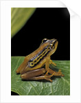 Hyperolius puncticulatus (spotted reed frog) by Corbis