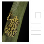 Hyperolius viridiflavus (common reed frog) by Corbis