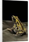Kassina senegalensis (Senegal running frog) by Corbis