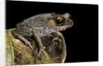 Leptobrachium hasseltii (Hasselt's toad, Tschudi's frog) by Corbis