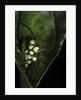 Leptopelis sp. (forest treefrog ) - eggs by Corbis