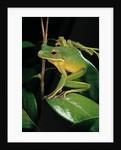Litoria infrafrenata (white-lipped treefrog, giant treefrog) by Corbis