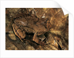Megophrys longipes by Corbis