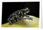 Melanophryniscus stelzneri by Corbis