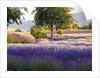 Lone Tree in Lavender field by Corbis