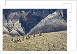 Cowboys and Cowgirls riding along the hills of the Big Horn Mountains by Corbis