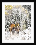 Cowgirls and Cowboy riding in Autumn Aspens with a fresh snowfall by Corbis