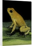Phyllobates terribilis (golden poison frog) by Corbis