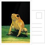 Phyllobates terribilis (golden poison frog) by Corbis