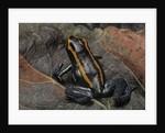 Phyllobates vittatus (Golfodulcean poison frog) by Corbis