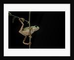 Phyllomedusa hypochondrialis azurea (northern orange-legged leaf frog) by Corbis
