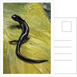 Plethodon glutinosus (northern slimy salamander) by Corbis