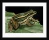 Hylarana erythraea (common green frog, leaf frog) by Corbis