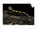 Salamandra salamandra terrestris (fire salamander) by Corbis