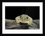 Spea bombifrons (plains spadefoot toad) by Corbis