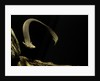 Siren intermedia (lesser siren) by Corbis