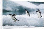 Adelie Penguins Diving Off Ice by Corbis