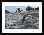 Adelie Penguin Gathering a Pebble by Corbis
