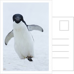 Adelie Penguin by Corbis