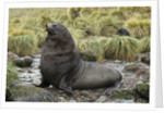 Antarctic Fur Seal at Haul-out by Corbis