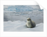 Crabeater Seal on Ice by Corbis