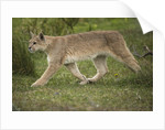 Wild Puma in Chile by Corbis