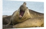 Southern Elephant Seal Bull Calling by Corbis