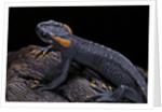 Tylototriton taliangensis (Taliang knobby newt) by Corbis