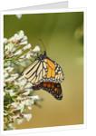 Monarch Butterfly by Corbis