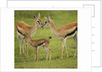 Thompson's Gazelle with Young by Corbis