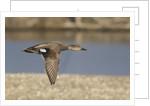 Male Gadwall Duck in flight by Corbis