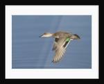 Greeb-Winged Teal hen in flight by Corbis