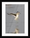 Willet landing by Corbis