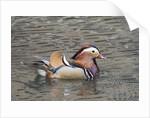 Mandarin Duck drake by Corbis
