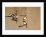 Pair of American Wigeons landing by Corbis