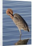 Reddish Egret rests in the water by Corbis