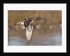 Green-Winged Teal drake in flight by Corbis