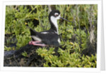 Bkack-Necked Stilt broods eggs on it's nest by Corbis