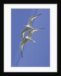 Pair of Elegant Terns in fight by Corbis