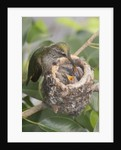 Anna's Hummingbird feeds chicks in it's nest by Corbis