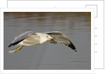 Ring-Billed Gull flys with a bat in it's bill by Corbis