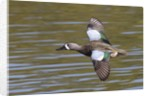 Blue-Winged Teal drake flys by Corbis