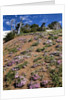 Phlox wildflowers by Corbis