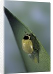 Adalia bipunctata (twospotted lady beetle) - emerging of the adult by Corbis