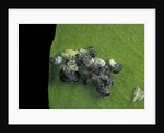 Adalia bipunctata (twospotted lady beetle) - emerging of the larvae by Corbis