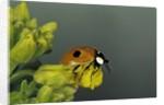 Adalia bipunctata (twospotted lady beetle) by Corbis