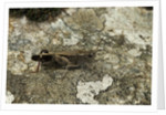 Aiolopus strepens (grasshopper) - on stone by Corbis