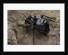 Akis bacarozzo (darkling beetle) by Corbis
