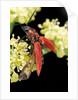 Anostirus purpureus (click beetle) by Corbis