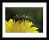 Anthaxia hungarica (jewel beetle) by Corbis